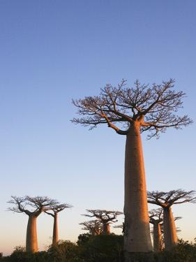 Baobab Trees by Keren Su