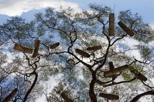Beehives on acacia tree, Arba Minch, Southern Nations, Ethiopia by Keren Su