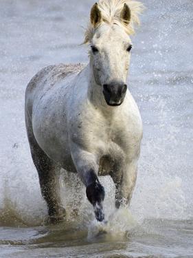 Camargue Horse Running in Water by Keren Su
