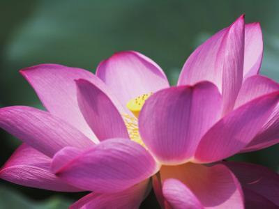 China, Sichuan Province, Lotus Flower in the Pond by Keren Su