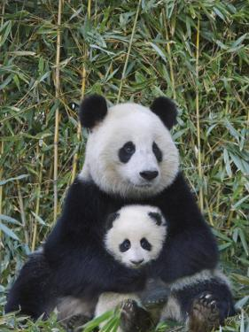 China, Sichuan Province, Wolong, Giant Panda Mother with 5-Month-Old Cub by Keren Su