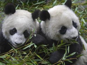 China, Sichuan Province, Wolong, Two Giant Pandas Eating Bamboo in the Bush by Keren Su