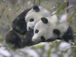 China, Sichuan Province, Wolong, Two Giant Pandas Sleep in the Bamboo Bush in Snow by Keren Su
