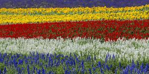 Colorful flowers in the lavender farm, Furano, Hokkaido, Japan by Keren Su