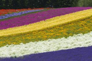 Colorful flowers in the lavender farm, Furano, Hokkaido Prefecture, Japan by Keren Su
