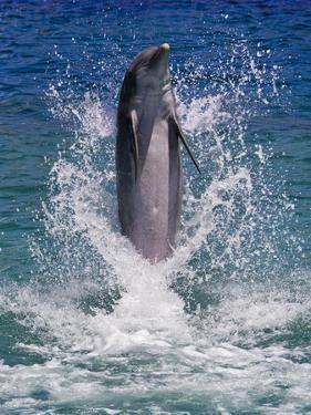Dolphin Standing Above Water, Roatan Island, Honduras by Keren Su