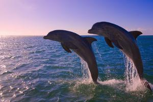 Dolphins Leaping from Sea, Roatan Island, Honduras by Keren Su