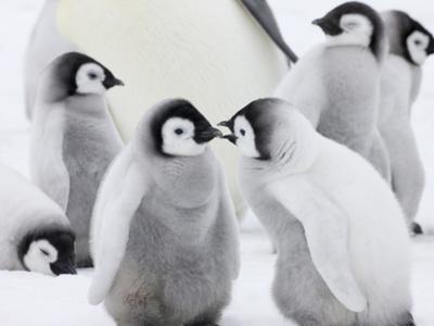 Emperor Penguin (Aptenodytes Forsteri) Chicks on Ice, Snow Hill Island, Antarctica by Keren Su
