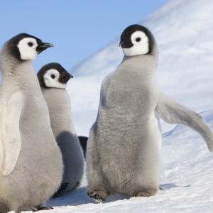 Emperor Penguin (Aptenodytes Forsteri) Parent with Chick on Ice, Snow Hill Island, Antarctica by Keren Su