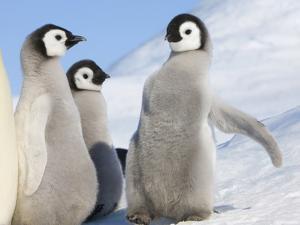Emperor Penguin parent with chick on ice, Snow Hill Island, Antarctica by Keren Su