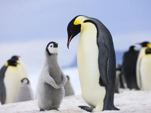 Emperor Penguin With Chick by Keren Su