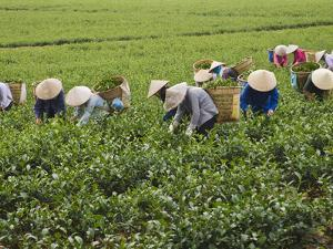 Farmers Wearing Conical Hat Picking Tea Leaves at Tea Plantation, Vietnam by Keren Su