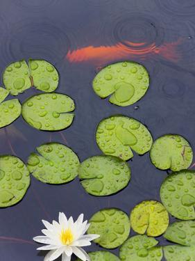 Flower and Gold Fish in Lily Pond in the Chinese Garden, Suzhou, Jiangsu Province, China by Keren Su