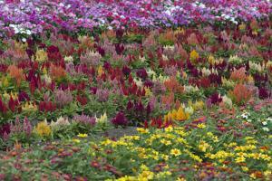 Flower Farm, Furano, Hokkaido Prefecture, Japan by Keren Su