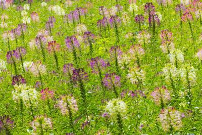 Flowers in the flower farm, Furano, Hokkaido Prefecture, Japan by Keren Su
