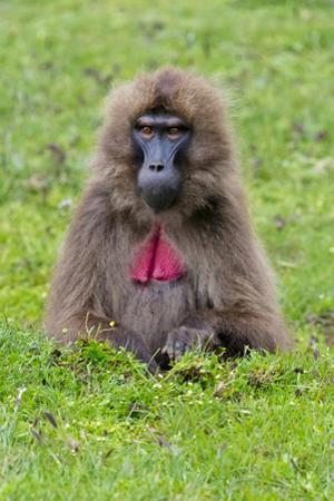 Gelada Mountain Monkey, Simien Mountain, Ethiopia