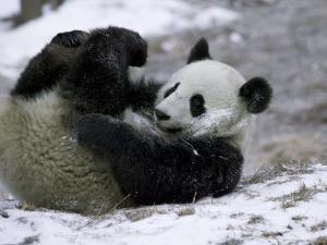 Giant Panda Cub Playing in Snow, Wolong Ziran Baohuqu, Sichuan, China by Keren Su