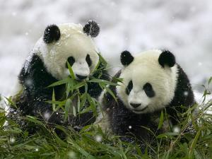 Giant Panda Cubs in Snowfall by Keren Su