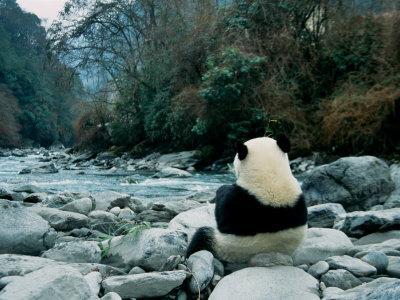 Giant Panda Eating Bamboo by the River, Wolong Panda Reserve, Sichuan, China