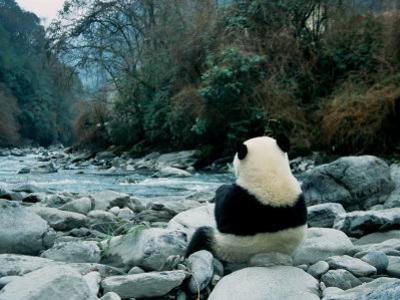 Giant Panda Eating Bamboo by the River, Wolong Panda Reserve, Sichuan, China by Keren Su