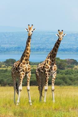 Giraffes on the savanna, Murchison Falls National park, Uganda by Keren Su