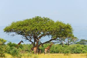 Giraffes under an acacia tree on the savanna, Murchison Falls National park, Uganda by Keren Su