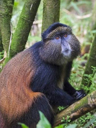 Golden Monkey, Cercopithecus Mitis Kandti, in the bamboo forest, Parc National des Volcans, Rwanda