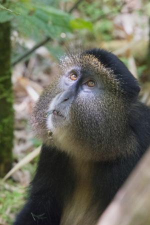 Golden Monkey in the bamboo forest, Parc National des Volcans, Rwanda