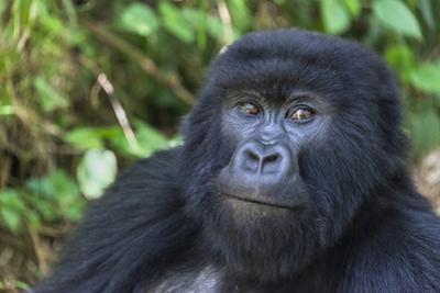 Gorilla in the forest, Parc National des Volcans, Rwanda