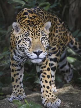 Jaguar in forest in Belize by Keren Su