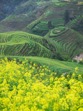 Landscape of Canola and Terraced Rice Paddies, China by Keren Su