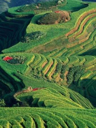 Landscape of Rice Terraces with Red Peppers Drying in Long Ji, Guangxi, China