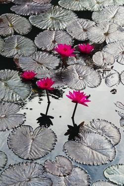Lily Flowers and Pads, Inle Lake, Shan State, Myanmar by Keren Su