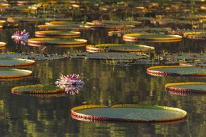 Lily Pads and Flowers on Rupununi River, Southern Guyana by Keren Su