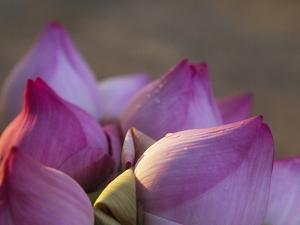 Lotus Flower Bud, Thailand by Keren Su