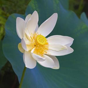 Lotus flower, Guangxi Province, China by Keren Su