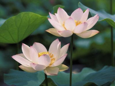 Lotus Flower in Blossom, China