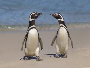 Megellanic Penguin on the beach, Falkland Islands by Keren Su