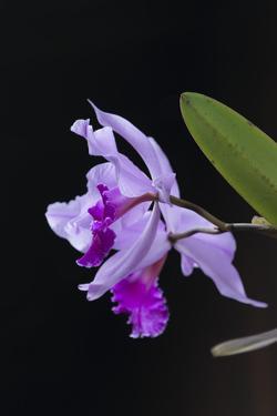 Orchid, Inle Lake, Shan State, Myanmar by Keren Su