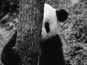 Panda Behind a Tree by Keren Su