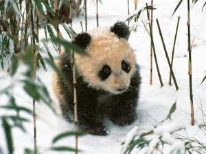 Panda Cub on Snow, Wolong, Sichuan, China by Keren Su
