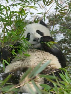 Panda Eating Bamboo on Snow, Wolong, Sichuan, China by Keren Su