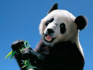 Panda Eating Bamboo, Wolong, Sichuan, China by Keren Su