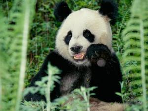 Panda in the Forest, Wolong, Sichuan, China by Keren Su