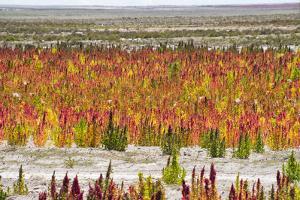 Quinoa field plantation, Uyuni, Potosi Department, Bolivia by Keren Su