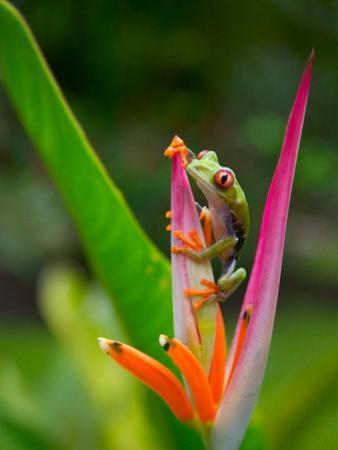 Red-Eye Tree Frog, Costa Rica by Keren Su