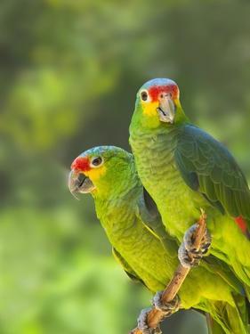 Red-lored parrots in Honduras by Keren Su