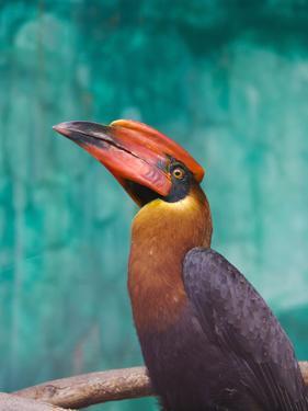 Rufous Hornbil Bird, Philippines by Keren Su