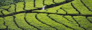Tea Plantation, Kerala, India by Keren Su