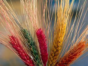 Tibetan Religious Offerings Made of Barley Wheat, Lhasa, Tibet, China by Keren Su